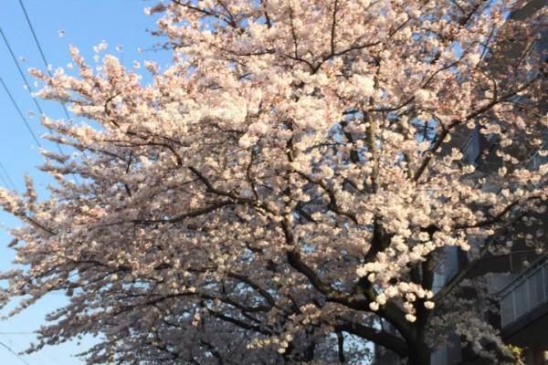 去年の今日は桜が満開でした