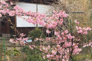 2015.03.14河津桜